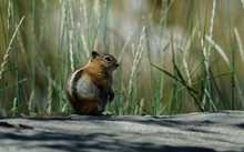 Close Up Of A Cute Little Chipmunk Sitting On A Rock In Front Of Tall Grass