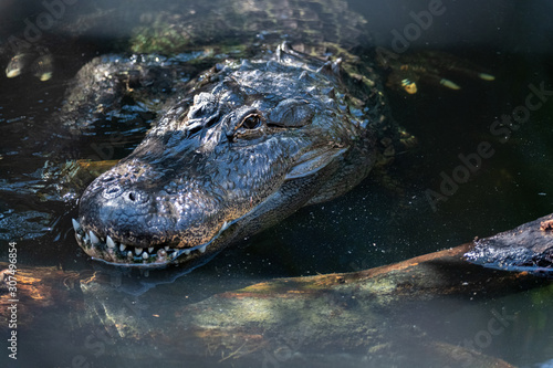 Close up of an American Alligator Canvas Print