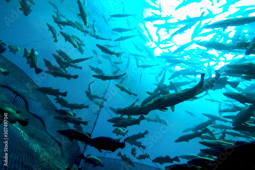 Photo flock of fish inside the fish farm, breeding commercial fish in
