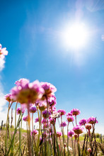 Germany, Schleswig-Holstein, Fehmarn, Sun Shining Over Pink Blooming Wildflowers