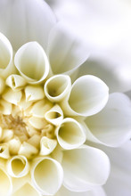 Extreme Close-up Of White Dahlia