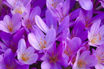 Full frame shot of purple crocus