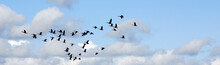 Geese Migrate Each Year, Many ...