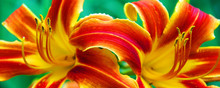 Day Lilies Male Reproductive P...