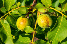 Close-up Of Walnuts Growing On Tree