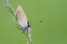 Close-up Of Small Copper Butterfly On Plant