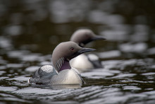 Close-up Of Black-throated Loons Swimming On Lake