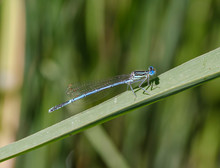 Close-up Of Blue Damselfly On Leaf,