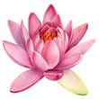 Leinwanddruck Bild - Pink lotus flower on an isolated white background, watercolor clipart, water lily