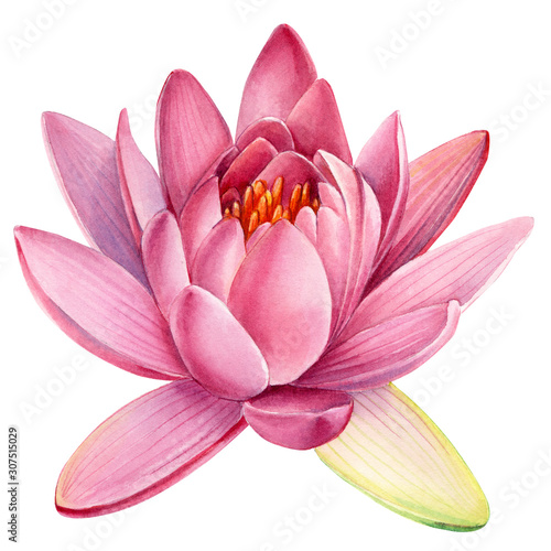 Pink lotus flower on an isolated white background, watercolor clipart, water lil Tableau sur Toile