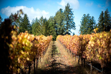 Vineyard In Autumn, Anderson V...