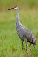 A Single Sandhill Crane Lookin...