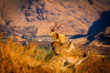 Monarch Of The Glen: Red Deer ...