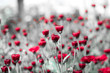 beautiful reddish flowers with a monochrome and blurry background