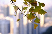 Ginkgo Leaves Turning Yellow In The City In Winter