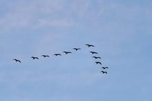 Flock Of Birds Flying In V Shape
