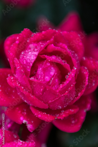 Close Up of Wet Pink Rose in the Rain