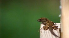 Lizard, Brown Anole, Poses And Bounces Up And Down, Still Shot.