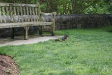 Black Squirrel In The Park Ne...