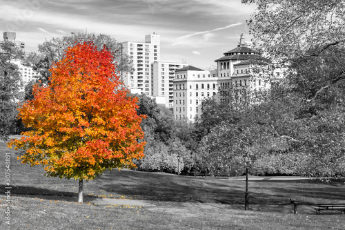 Colorful fall tree with red and orange leaves in a black and white landscape ...