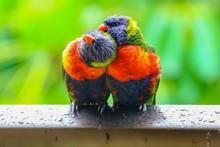 Rainbow Lorikeets Preening Aft...