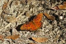 Gulf Fritillary Butterfly On Soil