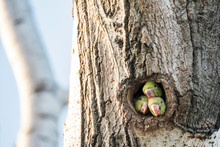 Parrots In Tree Hole In Nature