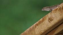Lizard, Brown Anole, Still, Looks At Camera, Day, Still Shot.