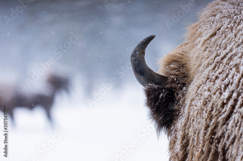 Valokuvatapetti Bison or Aurochs in winter season in there habitat