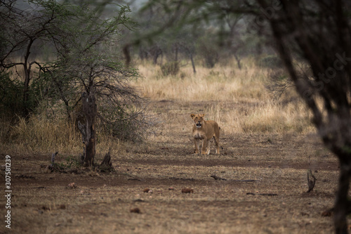 Garden Poster Antelope Löwe (Panthera leo)