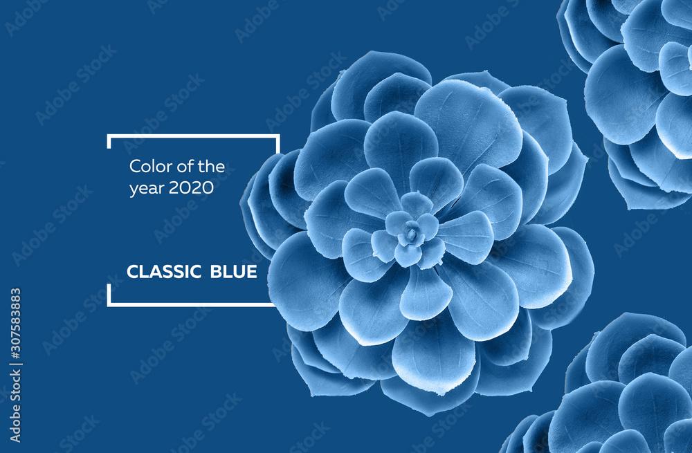 Fototapeta Succulent plant in color classic blue 2020 pantone color of the year