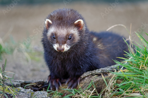 Vászonkép  European Polecat (Mustela putorius) Enjoying the Sunshine