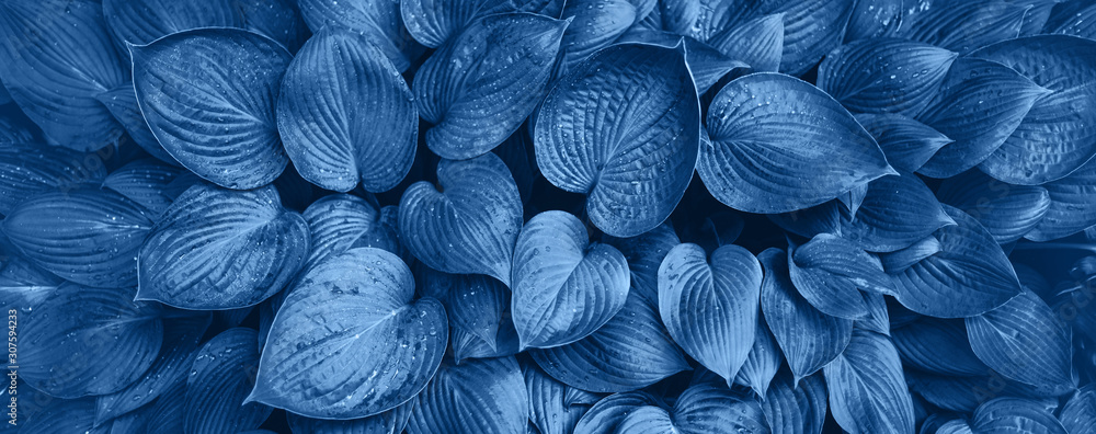 Fototapeta Nature concept. Top view. Green leaves texture in monochrome color. Trendy blue and calm color. Tropical leaf background.