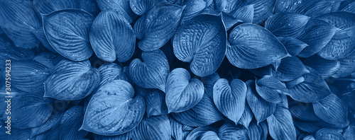 Obraz Nature concept. Top view. Green leaves texture in monochrome color. Trendy blue and calm color. Tropical leaf background. - fototapety do salonu