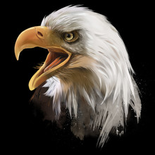 The American Bald Eagle, Head....