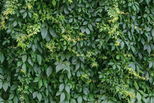 Green Hedge Background. Fence Of Creeper Leaves. Texture Of Tree Ivy, Nature Backgrounds. Creeper Vine, Natural Pattern Of Leaf. Wild Vine Leaves On The Wall.