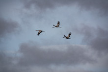 Three Cranes Flying With Open Wings, Bottom View