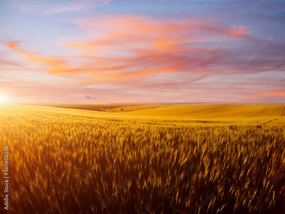 Fototapeta Field of yellow wheat in sunlight. Location rural place of Ukraine, Europe.