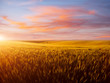 Field of yellow wheat in sunlight. Location rural place of Ukraine, Europe.
