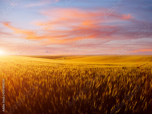 Wall mural - Field of yellow wheat in sunlight. Location rural place of Ukraine, Europe.