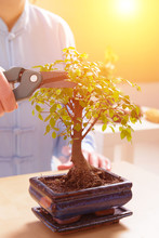 Growing Little Bonsai Tree
