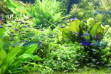 Beautiful Neon Tetra Fish In C...