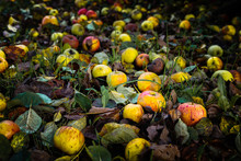 Fallen Red And Yellow Apples O...