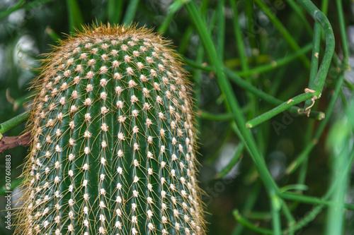Close-up detail of Saguaro Dorado cactus in the Arganzuela greenhouse in Madrid, Canvas Print