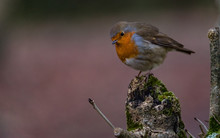 Cute Little Round Robin Bird P...