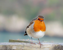Close  Up  Of  Robin Red Breast  Sitting  On Fence