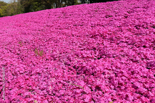 Spoed Fotobehang Roze 相模原市新戸の芝桜(神奈川県)