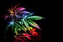 Cannabis Plant With Leaves Rai...