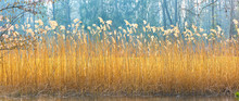 Beautiful Reed Grass On The Lake Shore