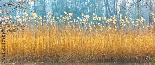 Obraz na plátně Beautiful reed grass on the lake shore